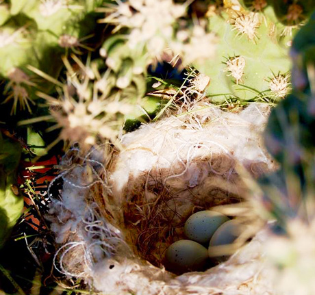 Bird eggs in cactus